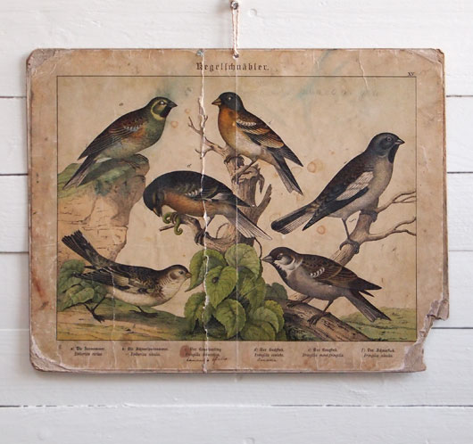 19th-century antique ornithology wall card: Chaffinch