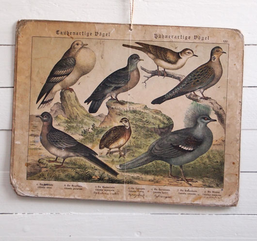 19th-century German bird illustration wall card: Pouter Pigeon, etc