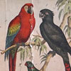 19th-century bird illustration wall card: Shrike, Macaw, etc