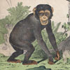 19th-century animal wall card: Monkeys