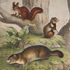 19th-century German animal illustration card: Squirrel, etc