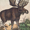 19th-century German animal illustration card: Deer, Elk, etc