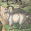 19th-century German animal illustration card: Mountain Goat and Sheep
