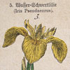 19th-century botanical illustration card: III