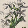 19th-century botanical illustration wall card: XXII