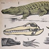 Large 1920s zoological wall chart: Alligator
