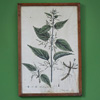 Hand-coloured botanical engraving: Stinging Nettle